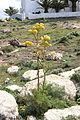 Teguise - Camino de Teguise al las Nieves - Ferula lancerottensis 04 ies.jpg