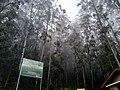 Terpantine forest.jpg