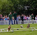 Terrier Racing,Royal Highland Show - geograph.org.uk - 1375409.jpg