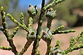 Tetraclinis articulata kz45 Morocco.jpg