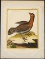 Tetrao urogallus - 1700-1880 - Print - Iconographia Zoologica - Special Collections University of Amsterdam - UBA01 IZ17100319.tif