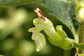 Teucrium.scorodonia.-.lindsey.jpg