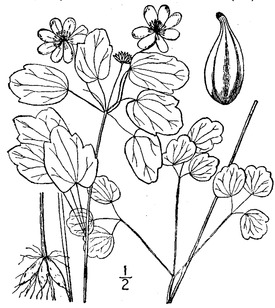 Thalictrum thalictroides (L.) Eames & B. Boivin Rue anemone.tiff