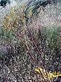 Thapsia villosa greenfruitsHabitus Puertollano.jpg