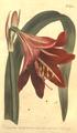 The Botanical Magazine, Plate 453 (Volume 13, 1799).png