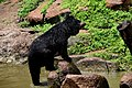 The Himalayan black bear (Ursus thibetanus) is a rare subspecies of the Asiatic black bear. 24.jpg