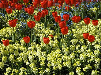 Bedding (horticulture) - Spring bedding with tulips, wallflowers and forget-me-nots