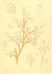 The Monograph of the Gymnoblastic or Tubularian Hydroids. Plate IX.png