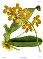 The Orchid Album-01-0047-0015-Vanda parishii.png