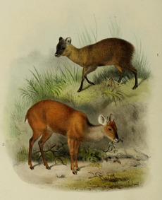 The deer of all lands (1898) Ecuador pudu & Central American brocket.png