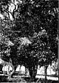 The indigenous trees of the Hawaiian Islands (1913) (20716770962).jpg