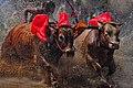 The race bull.jpg