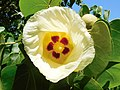 Thespesia populnea ( flower ).jpg