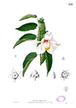 Thespesia sp Blanco2.333.png