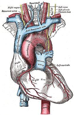 Kuvassa on sydän (harmaa). Sydämestä lähtevä punainen paksu verisuoni on  aortta 2fad37b7b5