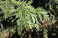 Thuja koraiensis - Quarryhill Botanical Garden - DSC03514.JPG