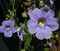 Thunbergia grandiflora-- the Bengal Clock Vine (27003668844).jpg