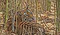 Tiger Female.jpg
