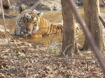 Tigress at waterhole.jpg