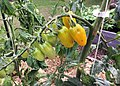 Tomatoes in a raised bed garden - 49746265226.jpg