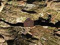 Toothache Tree near Beragh - geograph.org.uk - 1541644.jpg