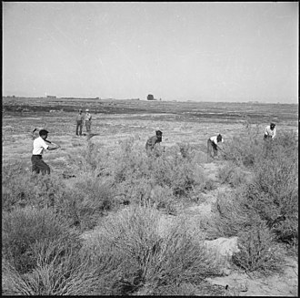 Internees clear land for agricultural use. Topaz, Utah. A group of volunteer agricultural workers clearing virgin land of sagebrush and wild g . . . - NARA - 538689.jpg
