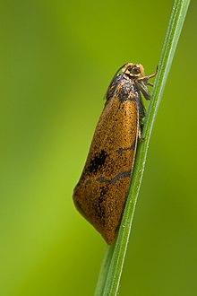 Tortricidae Ptycholoma lecheana.jpg