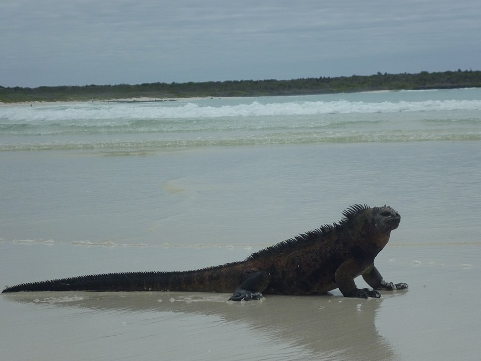 Tortuga Bay Galapagos Iguana on the beach Island of Santa Cruz photo by Alvaro Sevilla Design