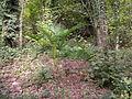 Trachycarpus fortunei MonteCaslano1.JPG