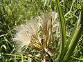 Tragopogon pratensis zaden2.jpg