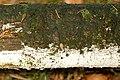 Trechispora.farinacea2.-.lindsey.jpg