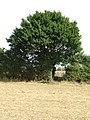Tree in Belchamp Walter, Essex (geograph 3124885).jpg