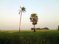 Tree in the field crops 3.jpg
