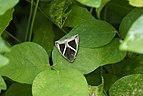 Triangular-striped moth - Chalciope mygdon 9197.jpg