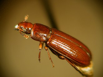 Red flour beetle - Adult