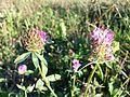 Trifolium pratense subsp. pratense sl5.jpg