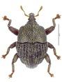 Trigonopterus hartleyensis Riedel, holotype.tif