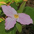 Trillium grandiflorum - Thompson Wildlife Management Area, Linden, Virginia.jpg