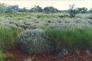 <i>Triodia</i> (plant) genus of plants