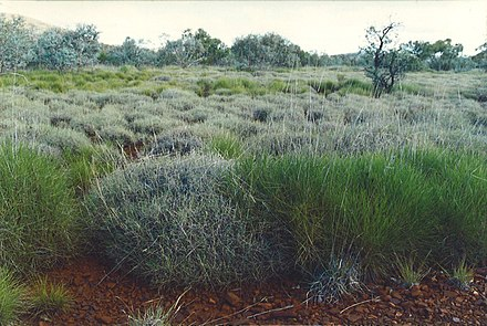 Hummock grassland, the green hummocks are Triodia pungens and the blue-grey hummocks are Triodia basedowii. Triodia hummock grassland.jpg