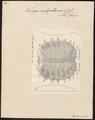 Trionyx subplanus - rugschild - 1700-1880 - Print - Iconographia Zoologica - Special Collections University of Amsterdam - UBA01 IZ11600181.tif