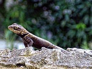 Tropidurus - Tropidurus oreadicus on a wall in Belém, Brazil