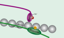 Tropomyosin unbound to actin.png