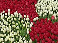 Tulip 1300191.jpg
