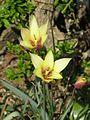 Tulipa clusiana Cynthia - Flickr - peganum (1).jpg