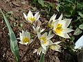 Tulipa turkestanica Y003.jpg