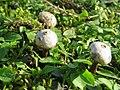 Tulostoma fimbriatum 105035705.jpg