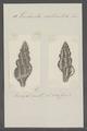 Turbinella craticulata - - Print - Iconographia Zoologica - Special Collections University of Amsterdam - UBAINV0274 084 04 0030.tif