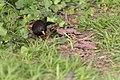 Turdus merula (Merle noir) - 134.jpg