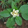 Turnera ulmifolia 'Elegans' in Hyderabad, AP W IMG 0209.jpg